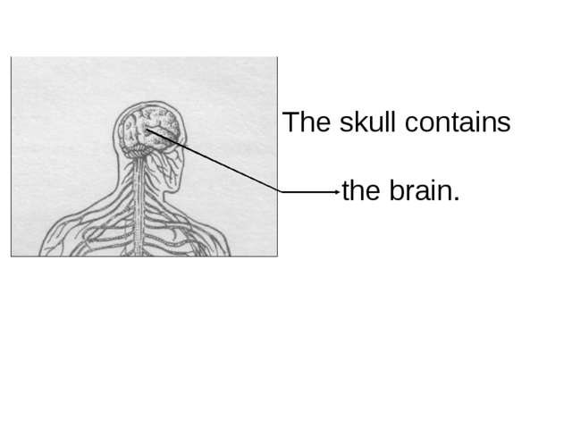 The skull contains the brain.