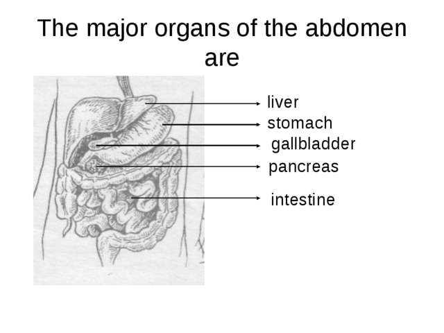 The major organs of the abdomen are liver stomach gallbladder pancreas intest...