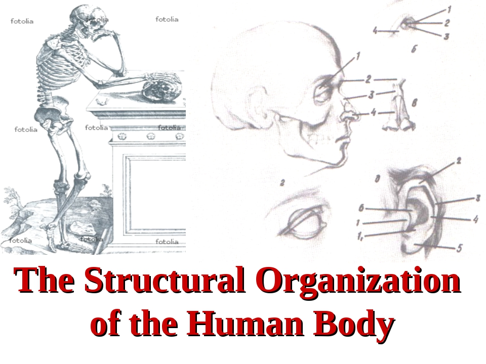 The Structural Organization of the Human Body