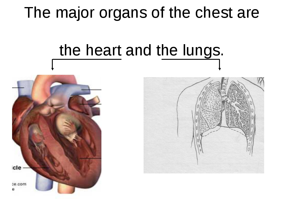 The major organs of the chest are the heart and the lungs.