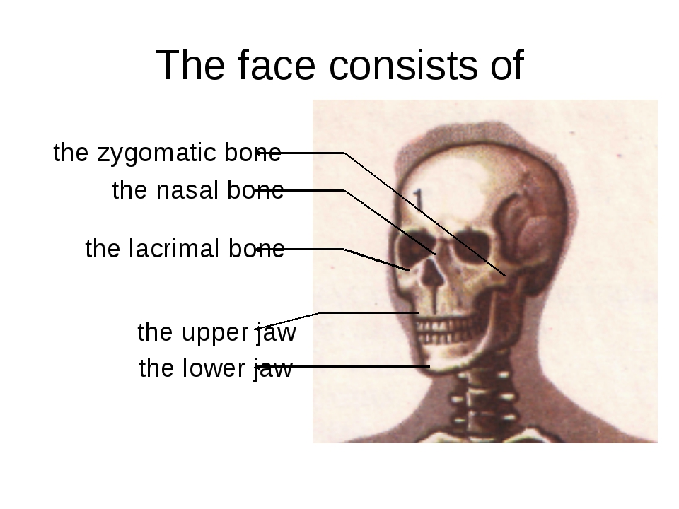 The face consists of the lower jaw the upper jaw the lacrimal bone the nasal...