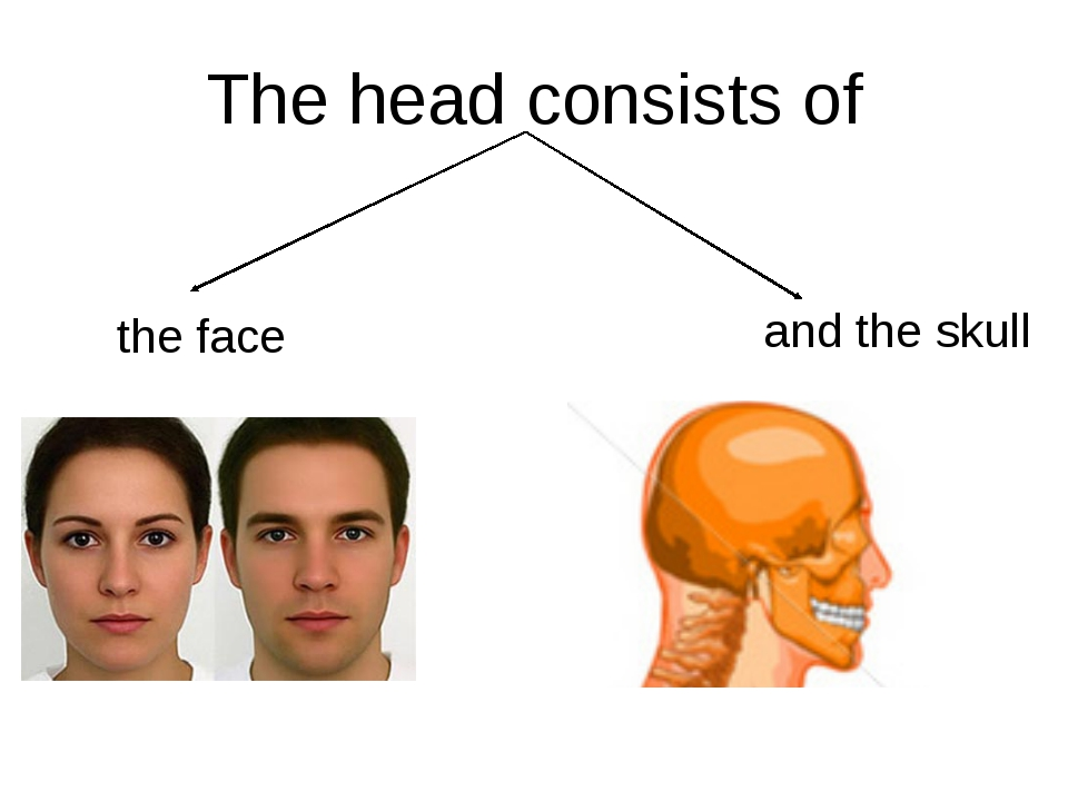 The head consists of the face and the skull