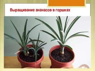 Выращивание ананасов в горшках