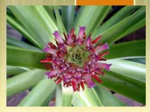 Морфологическое описание Тропическое многолетнее травянистое растение до 60с