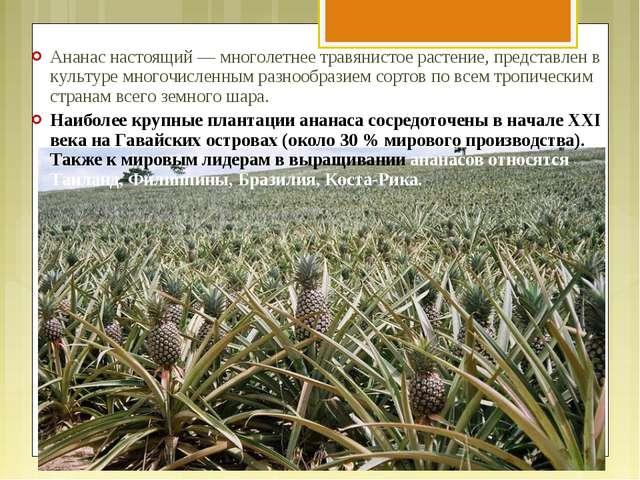 Ананас настоящий — многолетнее травянистое растение, представлен в культуре м...