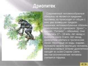 Дриопитек Современные человекообразные обезьяны не являются предками человека