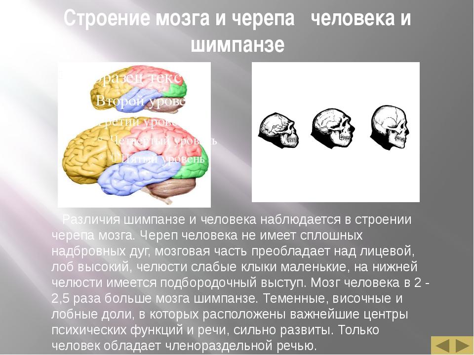 Строение мозга и черепа человека и шимпанзе Различия шимпанзе и человека набл...