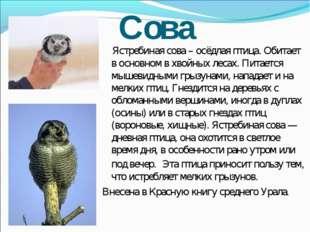 Сова Ястребиная сова – осёдлая птица. Обитает в основном в хвойных лесах. Пит