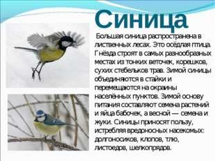Синица Большая синица распространена в лиственных лесах. Это осёдлая птица. Г