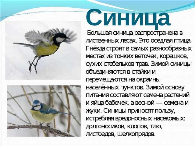Синица Большая синица распространена в лиственных лесах. Это осёдлая птица. Г...