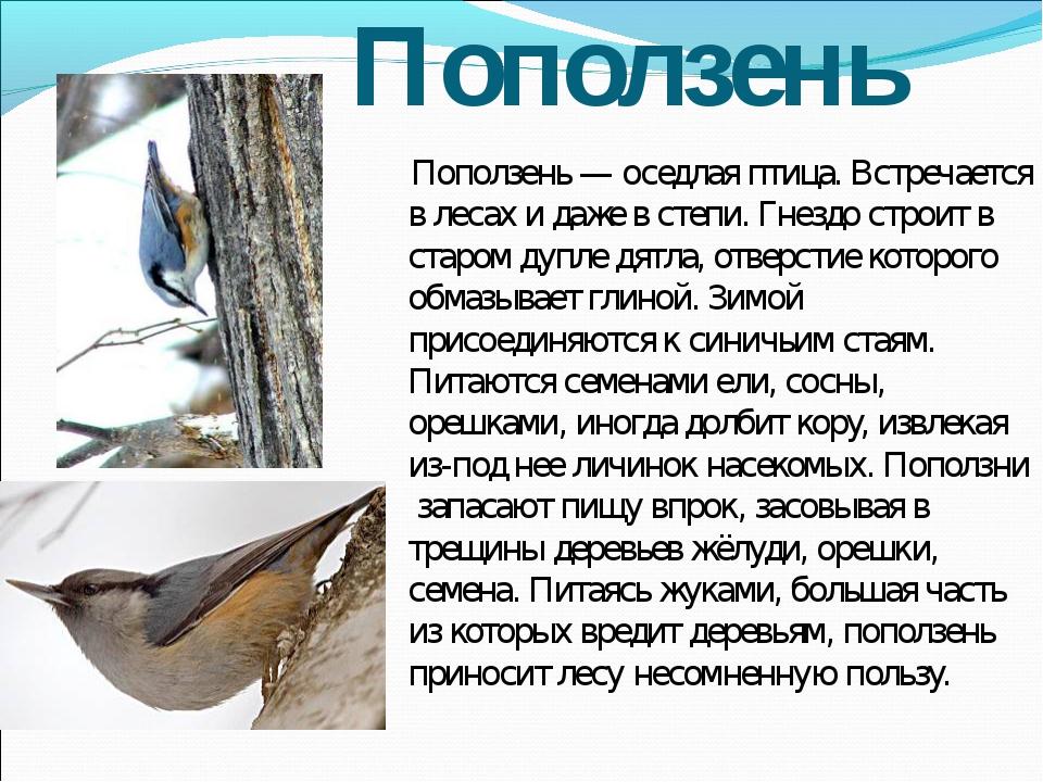 Поползень Поползень — оседлая птица. Встречается в лесах и даже в степи. Гнез...
