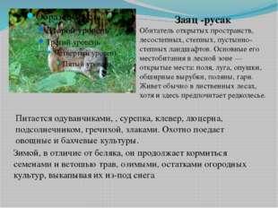 Заяц -русак Обитатель открытых пространств, лесостепных, степных, пустынно-ст