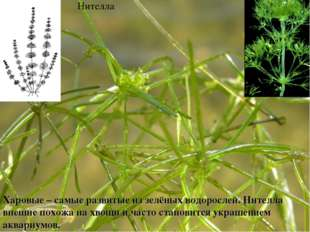 Харовые – самые развитые из зелёных водорослей. Нителла внешне похожа на хвощ