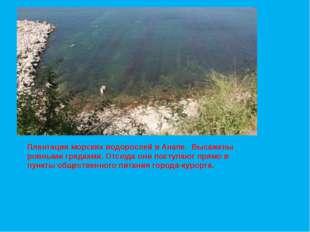Плантации морских водорослей в Анапе. Высажены ровными грядками. Отсюда они п