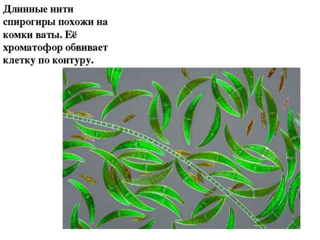 Длинные нити спирогиры похожи на комки ваты. Её хроматофор обвивает клетку по...