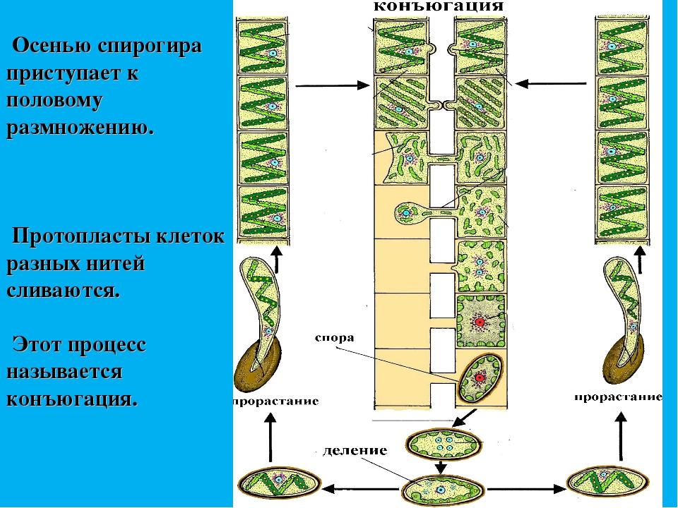 Осенью спирогира приступает к половому размножению. Протопласты клеток разны...
