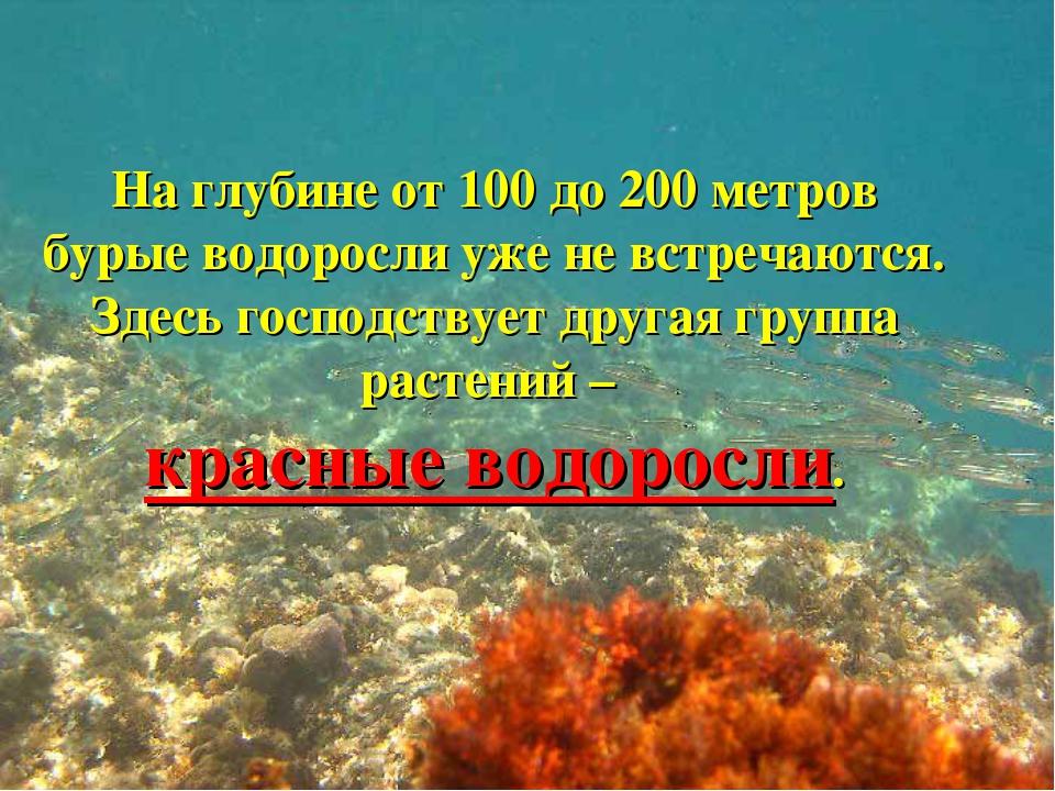 На глубине от 100 до 200 метров бурые водоросли уже не встречаются. Здесь гос...