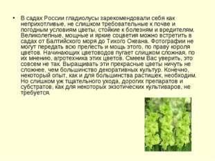 В садах России гладиолусы зарекомендовали себя как неприхотливые, не слишком
