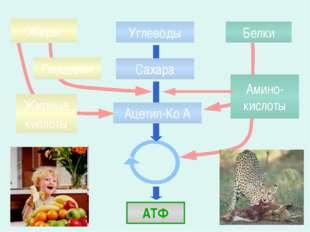 Жиры Белки Углеводы АТФ Глицерин Жирные кислоты Амино-кислоты Сахара Ацетил-К
