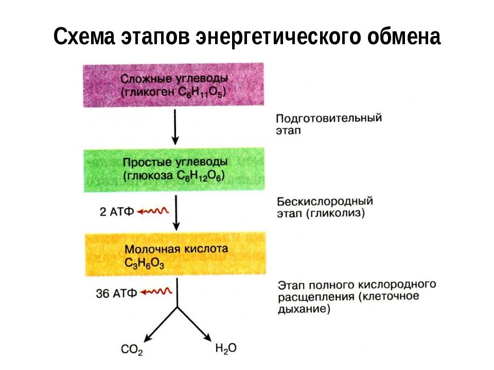 Схема этапов энергетического обмена