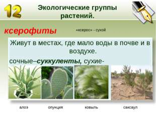 Экологические группы растений. ксерофиты «ксерос» - сухой алоэ опунция ковыль
