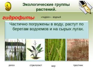Экологические группы растений. гидрофиты «гидрос» - водный рогоз стрелолист а