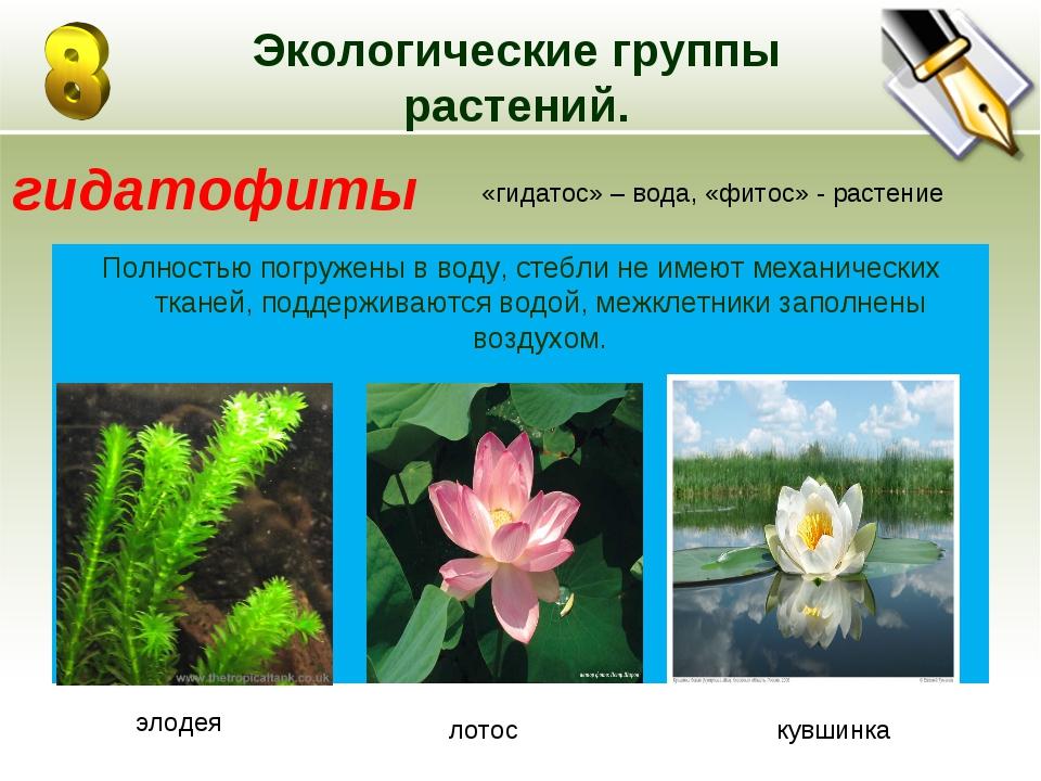 Экологические группы растений. Полностью погружены в воду, стебли не имеют ме...
