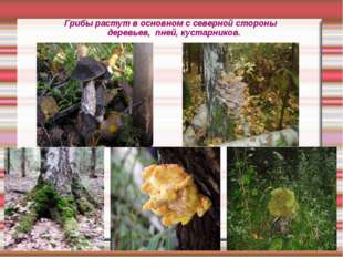 Грибы растут в основном с северной стороны деревьев, пней, кустарников.