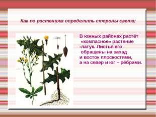 Как по растениям определить стороны света: В южных районах растёт «компасное»