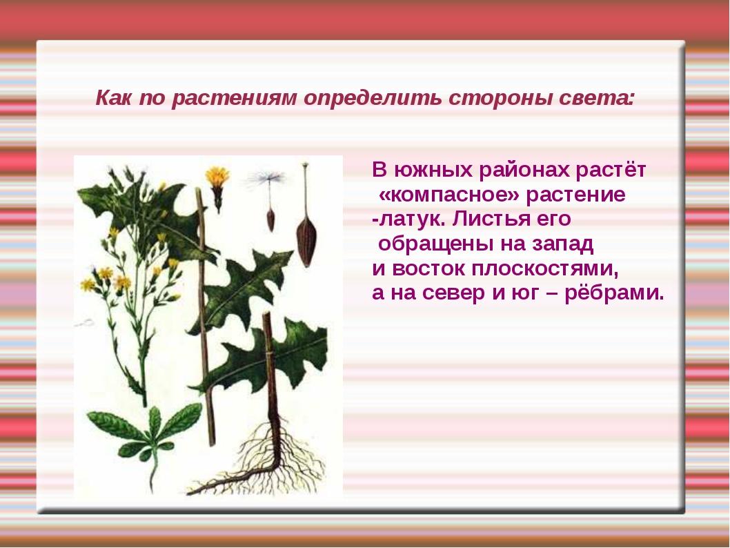 Как по растениям определить стороны света: В южных районах растёт «компасное»...