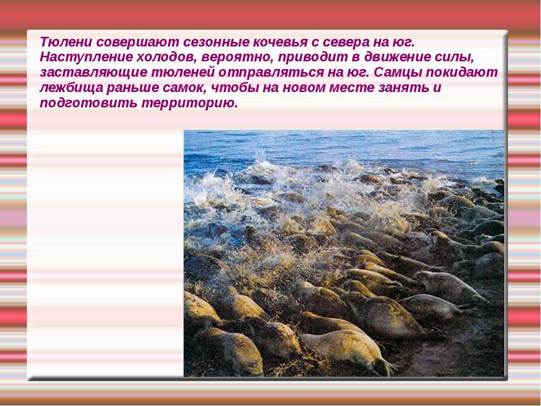 Тюлени совершают сезонные кочевья с севера на юг. Наступление холодов, вероят...