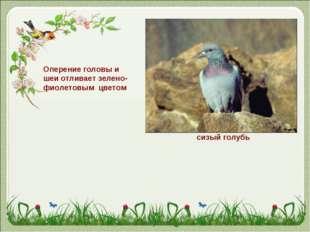 Оперение головы и шеи отливает зелено-фиолетовым цветом сизый голубь