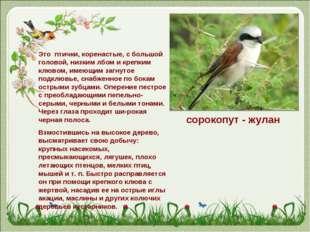 сорокопут - жулан Это птички, коренастые, с большой головой, низким лбом и кр
