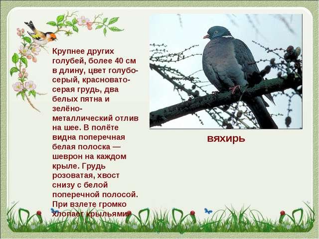 вяхирь Крупнее других голубей, более 40см в длину, цвет голубо-серый, красно...