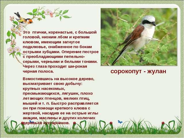 сорокопут - жулан Это птички, коренастые, с большой головой, низким лбом и кр...