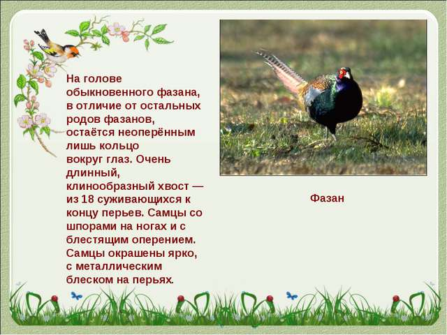 Фазан На голове обыкновенного фазана, в отличие от остальных родов фазанов, о...
