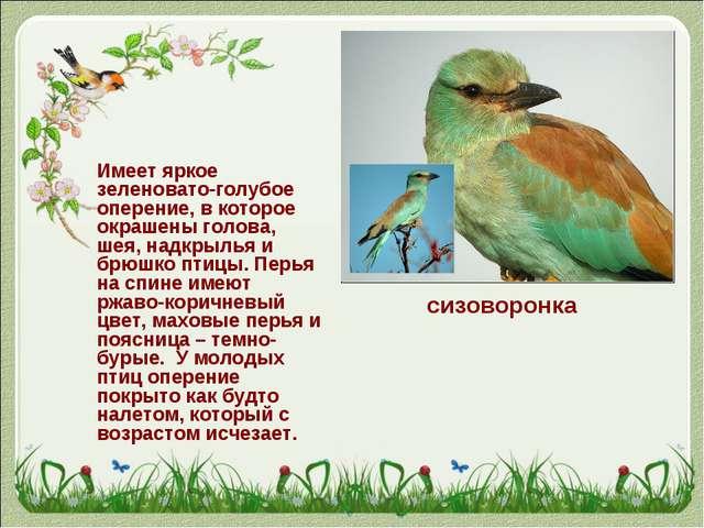 Имеет яркое зеленовато-голубое оперение, в которое окрашены голова, шея, над...