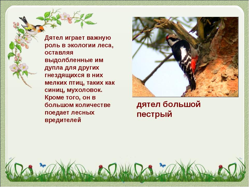 дятел большой пестрый Дятел играет важную роль в экологии леса, оставляя выдо...