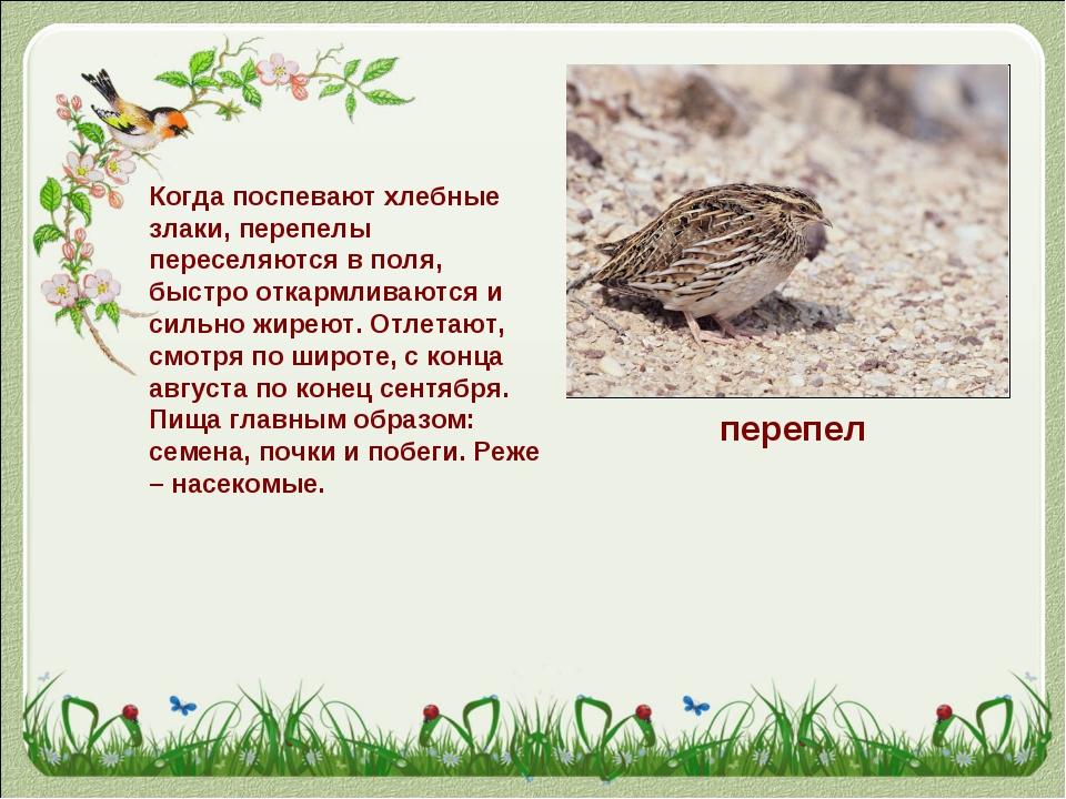 перепел Когда поспеваютхлебные злаки, перепелы переселяются в поля, быстро о...