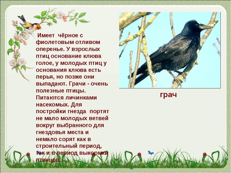 грач Имеет чёрное с фиолетовым отливом оперенье. У взрослых птиц основание к...