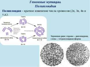 Геномные мутации. Полиплоидия Полиплоидия – кратное изменение числа хромосом