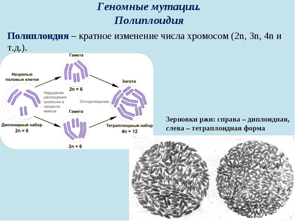 Геномные мутации. Полиплоидия Полиплоидия – кратное изменение числа хромосом...