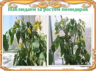 Наблюдаем за ростом помидоров 07.04.2015 10.04.2015