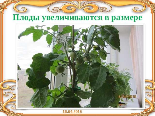 Плоды увеличиваются в размере 16.04.2015
