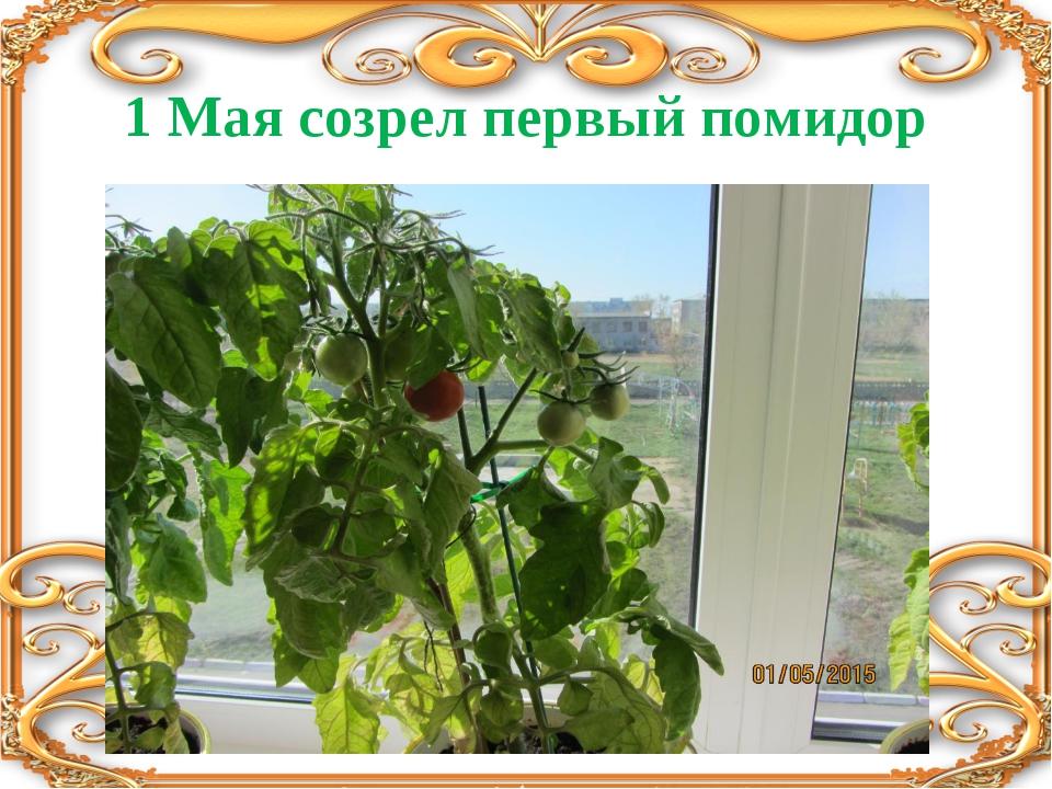 1 Мая созрел первый помидор
