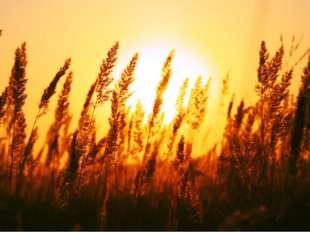 Семейство Лилейные 4 тыс видов Многолетные травы Коробочки (тюльпан, лук), яг