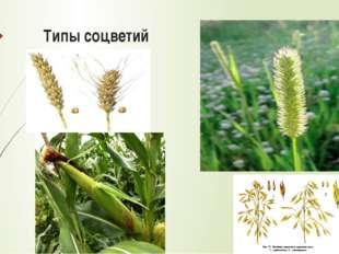 Систематическое положение злаков Царство: Растения Отдел: Цветковые Класс: