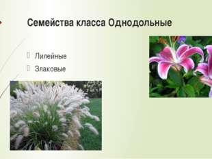 Строение цветка ↑О2+(2)Т3П1 Цветок неправильный Простой околоцветник: 2 цветк