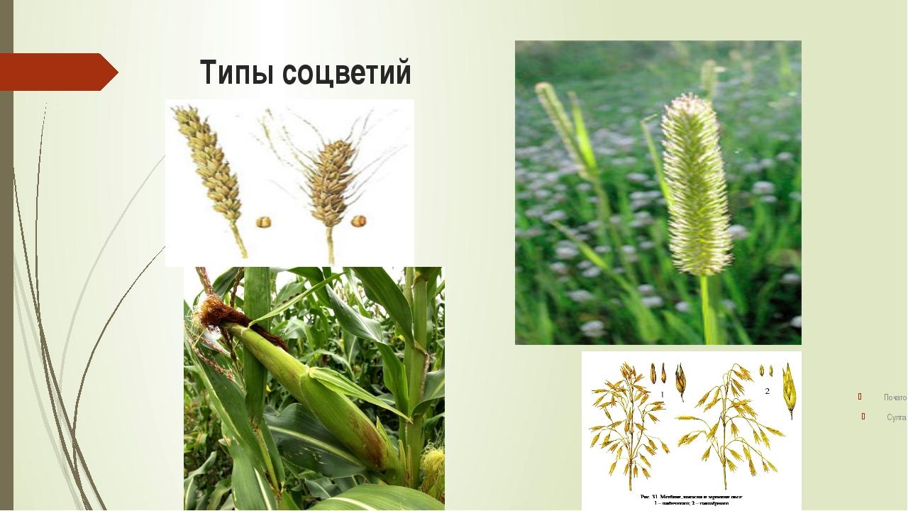 Систематическое положение злаков Царство: Растения Отдел: Цветковые Класс:...