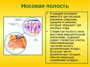 Носовая полость В каждой половине имеются три носовые раковины (верхняя, сред